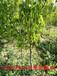 4公分樱桃树苗需挖多大土球?4公分樱桃树苗带土球发货