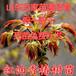 供应大棚香椿树苗大棚香椿种植技术培训