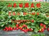 大棚草莓苗哪里有卖大棚草莓苗种植什么品种收益高