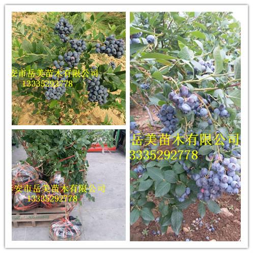 50厘米藍莓