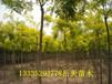 法桐价格5公分-12公分法桐树基地