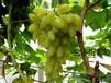 1公分葡萄树苗多少钱一株