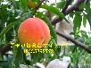 供应桃树苗品种桃树苗蟠桃、油桃、毛桃