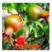 最便宜的3公分石榴树苗带土球3公分石榴树苗基地