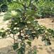 结果的山楂树多少钱一棵出售5公分山楂树