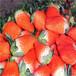 草莓基地培育直销章姬又叫甜宝草莓苗