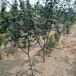 南方梨树苗品种供应玉露香梨树苗