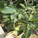 80公分高核桃苗80公分核桃树苗80厘米核桃树