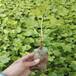 50公分高葡萄樹苗價格0.5米高葡萄樹