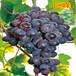 南方葡萄苗品种玫瑰香葡萄南方高产量葡萄
