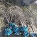社区绿化建设种植什么树樱花树苗樱花绿化树