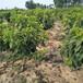 4公分吉塞拉6号矮化樱桃树适合东北种植