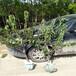 供应广西3公分樱桃树苗便宜3公分樱桃树
