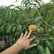 适应贵州气候的桃树品种映霜红桃树苗