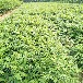 广西大棚香椿苗0.8公分以上香椿苗