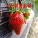 河南丰香草莓苗大棚采摘园适合种植的草莓苗