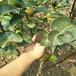 南方梨树苗福建梨树品种红香酥梨品种