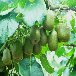 供应江苏扬州猕猴桃苗嫁接猕猴桃树苗多少钱