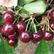供应云南迪庆矮化樱桃树苗5公分早树樱桃苗山区种植樱桃