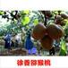 供应河南三门峡猕猴桃苗1年河南猕猴桃树苗价格