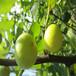 供应江苏无锡1年无花果苗波姬红无花果品种南方种植无花果