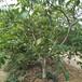 供应四川自贡5公分核桃树嫁接核桃苗实生占地核桃树