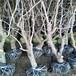 供应吉林四平枣树苗5公分沾化冬枣树适合东北种植枣树苗