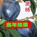 供应广州梅州罗田甜柿子树3公分柿子树苗