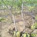 供应陕西西安鸡心果采摘园品种苹果树庭院绿化苹果树