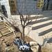 供应江西新余苹果树苗新品种南方种植苹果树