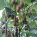 供应福建漳州3年猕猴桃苗黄金果猕猴桃树南方猕猴桃苗