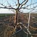供应江西新余冰糖樱桃树苗采摘园樱桃树品种