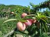 供应福建莆田贵凌李子苗品种李子苗3公分5公分李子苗