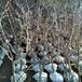 供应黑龙江佳木斯冬枣树5公分结果枣树苗耐寒枣树