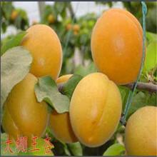 供应贵州安顺金杏梅杏杏树苗2公分杏树苗价格