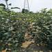 供应江苏大丰夏嘎啦苹果树1、2、3公分苹果苗