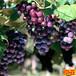 供应四川成都长野珍珠葡萄苗2、3、4公分葡萄树苗