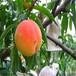 供应湖北孝感9602油桃4、5、6公分油桃树南方品种