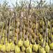 供应北京平谷10公分庭院杏树苗8公分杏树价格
