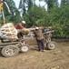 供应安徽合肥8公分银杏树价格