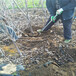 供应吉林吉林4公分5公分吉塞拉6号矮化美早樱桃树