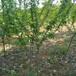 供应湖南张家界梨树苗园林5公分梨树价格