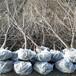 供应贵州贵阳4公分5公分樱桃树车厘子树