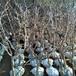 供应河南郑州新乡油桃树苗油蟠桃树价格1年油蟠桃苗