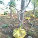 供应湖南永州水蜜桃品种桃树苗3公分水蜜桃桃树苗