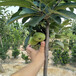 供应新疆乌鲁木齐矮化苹果树苗1年0.8以上苹果苗