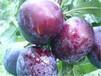 供应四川自贡李子树苗紫色李子苗品种紫李