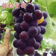 出售1年葡萄苗3-4-5公分葡萄树苗价格