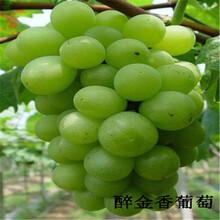 1年葡萄苗价格金太阳葡萄苗品种1公分葡萄树苗
