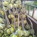 供应青海海东大棚杏树苗5公分大棚王杏杏树